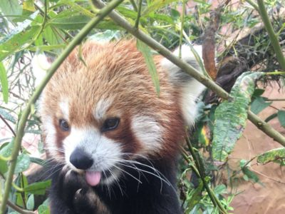 Red Panda Facts • Fun Facts and Information for Kids